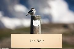 Traquet motteux au...Lac Noir (Quentin Douchet) Tags: alpes alpesfranaises alps faune frenchalps nature oisans parcnationaldescrins traquetmotteux animal bird fauna montagne mountain oiseau parcdesecrins