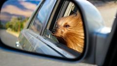 Wriggly Enjoying The Car Ride (RStonejr) Tags: silky silkyterrier terrier dog canon dslr california pet friend car mirror wind animal animalplanet australian doggie australiansilkyterrier reflection smile happydog happy blonde longhair goldenhair golden