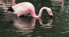 curves (kimbenson45) Tags: slimbridge animal bird black curved curves curvy flamingo nature outdoors pink reflected reflection rippled ripples water waterway wildlife