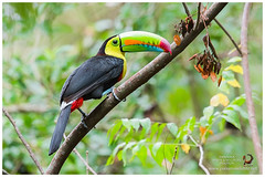 Keel-billed Toucan / Tucn Pico Iris (Panama Birds & Wildlife Photos) Tags: panama panamawildlife wildlife wildlifephotography toucan toucans tucn tucanes