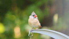 Watching (blazer8696) Tags: 2016 brookfield ct connecticut ecw obtusehill t2016 usa unitedstates cardinal cardinalis cardinaliscardinalis female img1154 northern northerncardinal passeriformes