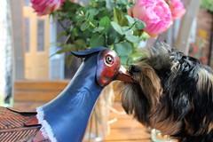 Flo Yorkie Poo Puppy exploring the garden (@oakhamuk) Tags: flo yorkiepoo puppy exploring garden martinbrookes
