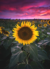 Sunflowers at Sunset (Cale Best Photography) Tags: sunflower landscape sunset nature flower light colour color crop farm mood face rural ontario canada beauty beautiful beautyinnature glow peace peaceful calm calming leaves grow growing healthy pink yellow green bokeh windsor ca