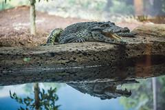 3O4A2048 (zcmcclary) Tags: louisvillezoo croc crocodile animal wild