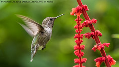 Anna's Hummingbird (P8191705-Edit) (Michael.Lee.Pics.NYC) Tags: sanfrancisco goldengatepark botanicalgarden succulentgarden annashummingbird bird female salvia flower nectar feeding inflight hover bokeh olympus em5 markii mkii lumix100300mm