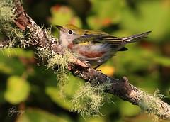 Chestnut-Sided Warbler (slsjourneys) Tags: warbler chestnutsidedwarbler