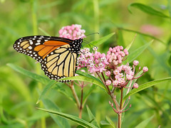 Monarch (Steve Gifford - IN) Tags: 2016 hilook proposal lens cloth steve steven gifford haubstadt indiana