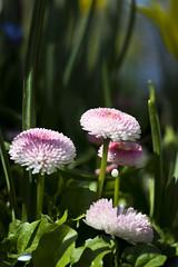 Milk pearl (helganovelli) Tags: nature flower daisy daisies pink pinkflower trio milk drop milkdrop green garden rosy tinyworld blume leche lait fleur bellisperennis vivid bright daytime delicate cute pquerette helganovelli nourish