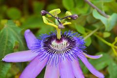Flor de la Pasin (Porschista) Tags: eivissa balears flor fleur flower flordelapasin portinatx passifloracaerulea