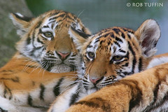 Amur Tiger Cubs Marwell Zoo Winchester September 2016 (rewtuffphotos) Tags: tiger amurtigers cubs animals cute cats wildlife nature bigcats canon zoo endangered 7d marwell