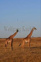 10077410 (wolfgangkaehler) Tags: 2016africa african eastafrica eastafrican kenya kenyan masaimara masaimarakenya masaimaranationalreserve wildlife grassland grasslands masaigiraffe masaigiraffegiraffacamelopardalis masaigiraffegiraffacamelopardalistippelskirchi giraffe giraffes eveninglight two twoanimals