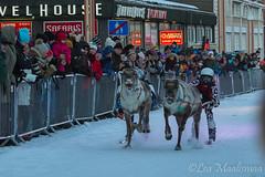 Vauhtia ja vaarallisia tilanteita porokisassa Rovaniemell. (Lea Maalismaa) Tags: reindeer rovaniemi poro rangifertarandus porokisa