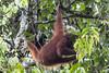 Wild Orangutans at Borneo Rainforest Lodge (robsall) Tags: travel vacation mammal malaysia borneo 7d orangutan canoneos sabah orang orangutans pongopygmaeus orangs ecolodge brl danumvalley rainforestlodge lahaddatu canoneos7d borneorainforestlodge danumvalleyconservationarea canon7d 30014x robsall robsallphotography 7dmarki danumvalleyconservation canon300mmf2814x canon300mm28ii14xiii canon300mmf28lisiiusm14xiii