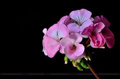 Pink Geranium (ArvinderSP) Tags: flowers india closeup spring naturallight newdelhi 602 pinkgeranium 2015 againstblack nikon28105f3545d nikond7000 arvinderspcom arvindersinghphotography