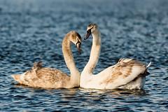 Mute Swan / Cygnus Olor (gerardcaffreys Images) Tags: water pair swans mute