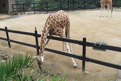Giraffe reaching for food. (Joybelle007) Tags: giraffe stretching sydneyzoo