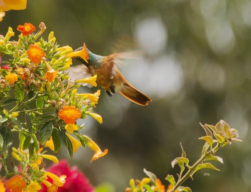 Amazilia Hummingbird Amazilia amazilia_6704