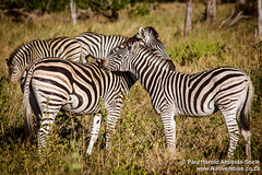 Zebras In The Okavango Delta, Botswana