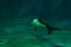 (GenJapan1986) Tags: animal japan aquarium dolphin  miyagi   2015      nikond610