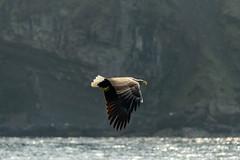 White Tailed Sea Eagle Scotland (Adam Sibbald) Tags: sea white skye bird scotland nikon eagle raptor isle ske tailed 80400vr 80400 d800e