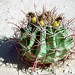 Cactus_Rocky_Point_Mexico_549_26