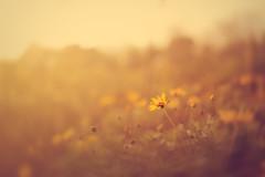 IMG_8254 (Autumn Pixels (oze-lito)) Tags: 35mm daisy breeze canonef35mmf14lusm ozelito