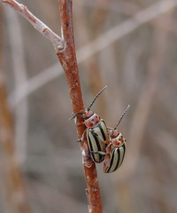 Striped Willow Leaf Beetles (Bug Eric) Tags: usa male nature animals female outdoors colorado wildlife pair insects bugs mating northamerica beetles coleoptera chrysomelidae fleabeetles leafbeetles lakepueblostatepark stripedwillowleafbeetle disonychaalternata march222015