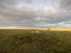 A Lioness And Her Habitat II (Makgobokgobo) Tags: africa landscape mammal kenya lion mara predator lioness omc masaimara panthera pantheraleo olare olaremotorogiconservancy olaremotorogi predatorhub