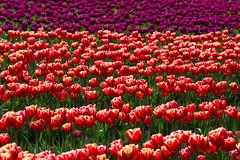 Tulip fields (mfeingol) Tags: washington spring tulip skagit skagitvalley tulipfestival tulipfields