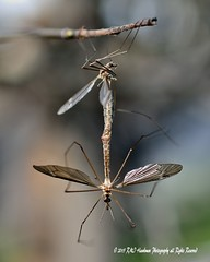 Crane Flies (family Tipulidae) (RMIngramPhotos.com) Tags: nature nikon insects bugs diptera macrophotography flyinginsects craneflies familytipulidae nikonphotography trueflies uglyinsects nikond7100 cranefliesfamilytipulidae nuisanceinsects