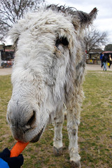 A mi burro, a mi burro le duele la cabeza... (Eduardo Valero Suardiaz) Tags: orange white black blanco negro donkey burro eat carrot comer naranja zanahoria