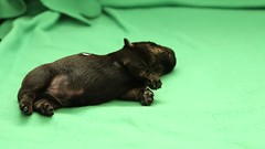 (kmkota) Tags: puppy puppies birth scottie scottishterrier perhaps  whelping scottiedog givingbirth skotlanninterrieri snooki scottiepuppies scottishterrierpuppies perhapssnooki thescottiedog scottiesnooki snookiscottie snookiis