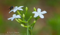 Copestylum Fly on Tread Softly Flower (sjsimmons68) Tags: plants flower nature animals fly insectsandspiders treadsoftly cnidoscolusstimulosus fingerrot seminoleco fllocations copestylumfly markhamwoodstractwekiwaspringssp