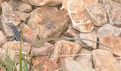 Aspidoscelis scalaris septemvittatus (Big Bend Spotted Whiptail) (Turtlerangler) Tags: texas lizard brewster np bigbend aspidoscelis
