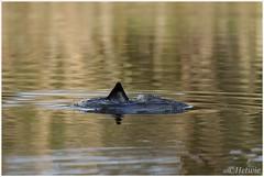 onderduiken (7D025689) (Hetwie) Tags: nature water nederland natuur noordbrabant duiken meerkoetje mierlohout eindhovenskanaal grootgoor tgoor