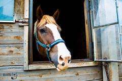 Looking out (Bullseye Pictures) Tags: rural lndlich pferd tier animal bauernhof farm heiter canon eos 650d ngc sch schwaben natur portrait planet germany deutschland kopf fenster horse