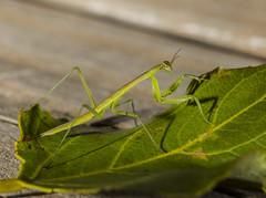 DSC03933 (advertisingwv) Tags: west macro bug mantis insect virginia sony praying josh southern wv alpha a77 mantid shackleford beckley advertisingwv