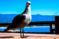 Edgy look - Regard nerv (Sannou In The Middle) Tags: california usa bird beach water animal santabarbara canon outside us eau pacific seagull pacificocean extrieur plage oiseau mouette californie stearnswharf etatsunis ocanpacifique canoneos600d