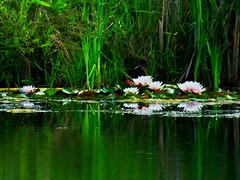 Reflecting water lilies (peggyhr) Tags: peggyhr waterlilies reflections lake dedication dsc00173a bluebirdestates alberta canada buildyourrainbowl1transparent level1peaceawards l~1passionforflowers musictomyeyes~l1
