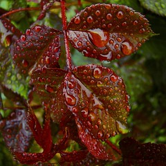 Rose Leaves After Rain (WickedIllusion) Tags: rose leaves leaf waterdrops drops droplets red green detail closeup roseleaves