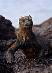 Head held high! - Marine Iguana on Fernandina Island in the Galapagos. (One more shot Rog) Tags: iguanas iguana marineiguana fenrnandina fernandinaisland isabela galapagos galapagosiguana lizard reptiles reptile prehistoric marine godzilla scaly