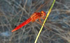 Liblula (antoninodias13) Tags: insecto aqutico guas voar lagos rios antonodias sert portugal macro vermelho cores natureza platinumheartaward