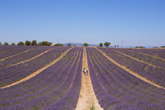 provence lavender field (SanctyYumi) Tags: provence france lavender flowers nature purple