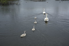 Rabbit Ings (242) (rs1979) Tags: rabbitings royston barnsley southyorkshire yorkshire pond muteswan muteswans swan swans cygnet cygnets