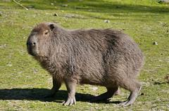 Capybara (Karls Kamera) Tags: hydrochoerus hydrochaeris capybara guinea pig rodent lake district wildlife park