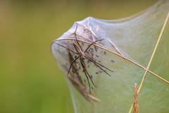 Spinne auf dem Nest oder (NOPE!) (ChrisTalentfrei) Tags: macro spider nest sony sigma os spinne makro a7 nope sigma105 lycosidae hsm laea4