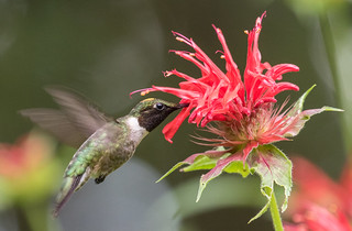 Ruby-throated Hummingbird & Bee Balm  1Z9A1527