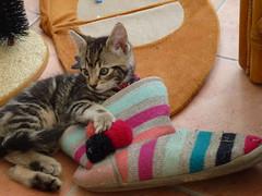 Baby Mara in a Slipper ! (Mara 1) Tags: cat kitten pet animal face tabby stripes blackgreyfawn coat fur indoors