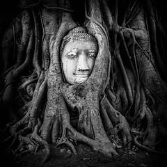 Stuck (PixPep) Tags: buddha ayutthaya thailand travel pixpep buddhaheadintree