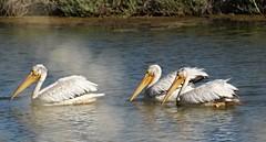 Steamed Pelicans (Gunn Shots (Mark Gunn)) Tags: pelican novato whitepelican americanwhitepelican pachecopond